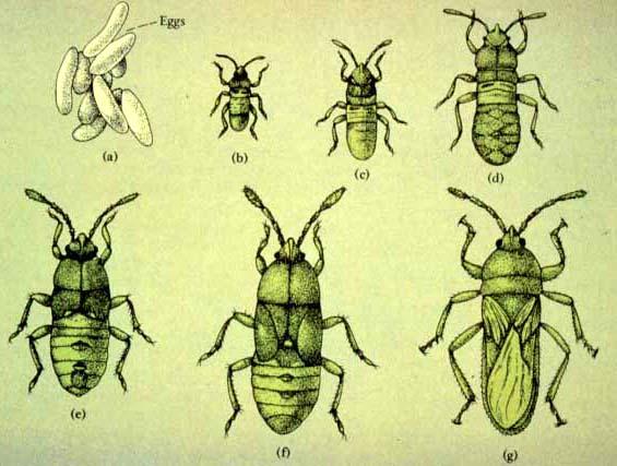 Gyrinidae whirligig beetles  Biodiversity Explorer