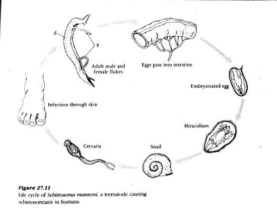 phylum porifera life cycle diagram