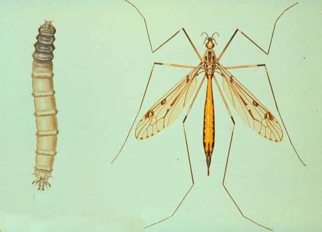 Crane fly emerging later due to climate change  Telegraph